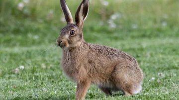 The Hare – אַרְנֶבֶת (arnevet)